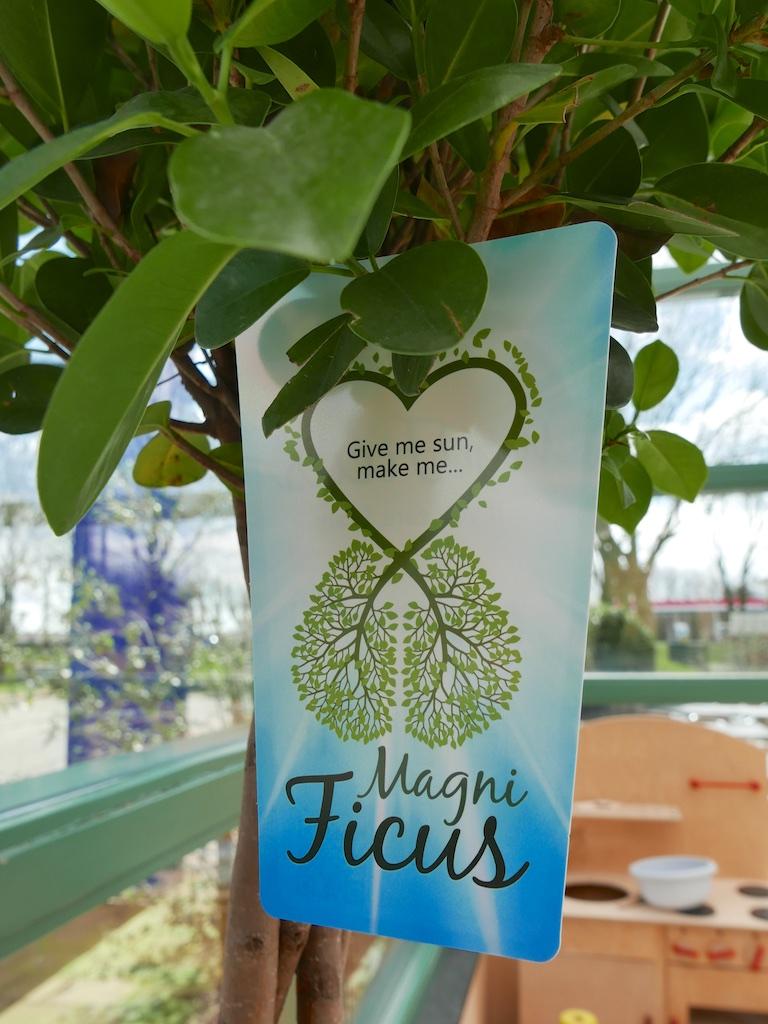 Magni Ficus